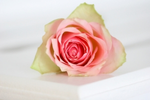 Flower, White and Pink Rose