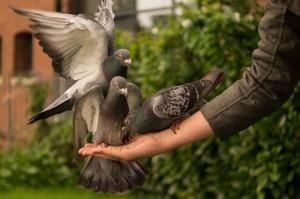 pigeon-943273_640